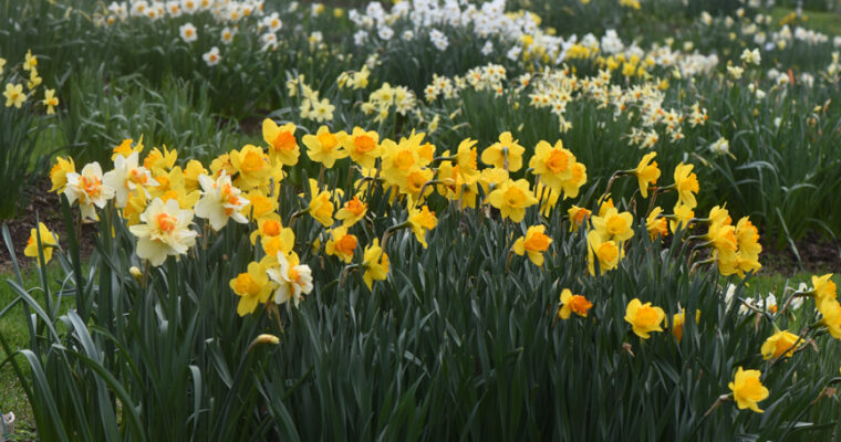 In Doug's Garden: Joe Hamm's Daffodil Hortus (Collection)
