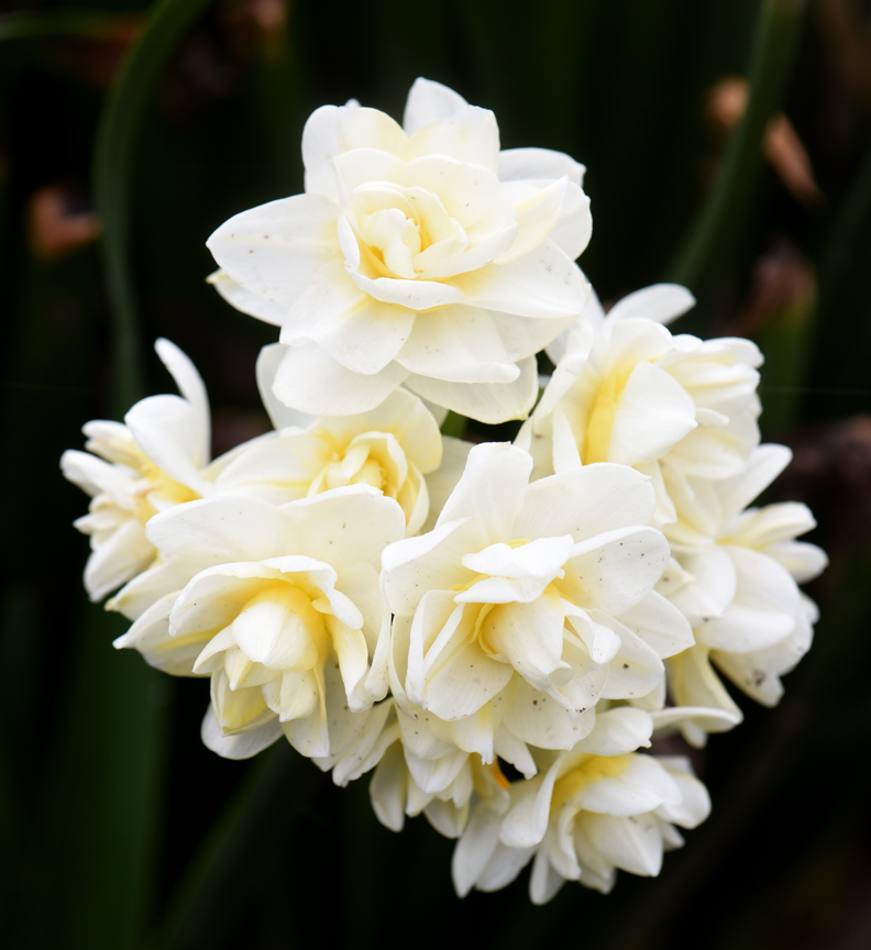 The Beauty of Daffodils from PTL