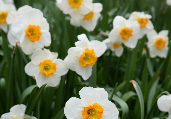 Daffodils Aren't Blooming? Here's the Solution