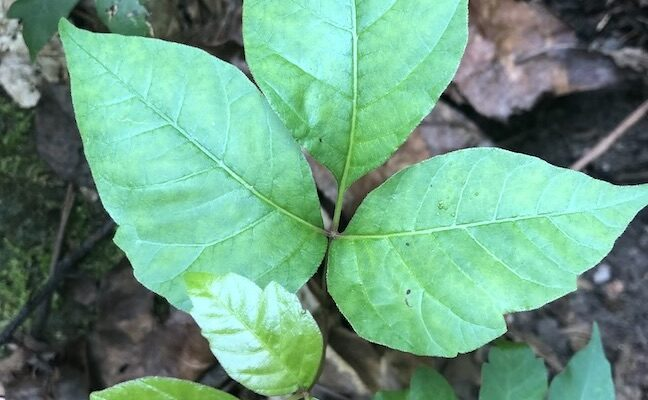 Poison ivy control tip from gardener is safe and inexpensive