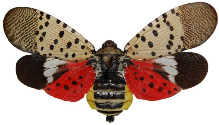 What to do if you discover Spotted lanternfly