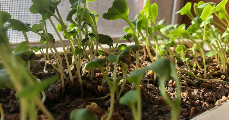 How to plant microgreens as seen on PTL