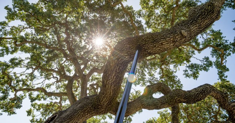 Talking Trees new podcast alert! Saving special trees with cabling