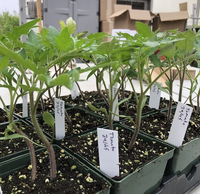 Angora Gardens Spring Plant Sale continues this week. 3945 tomato plants available