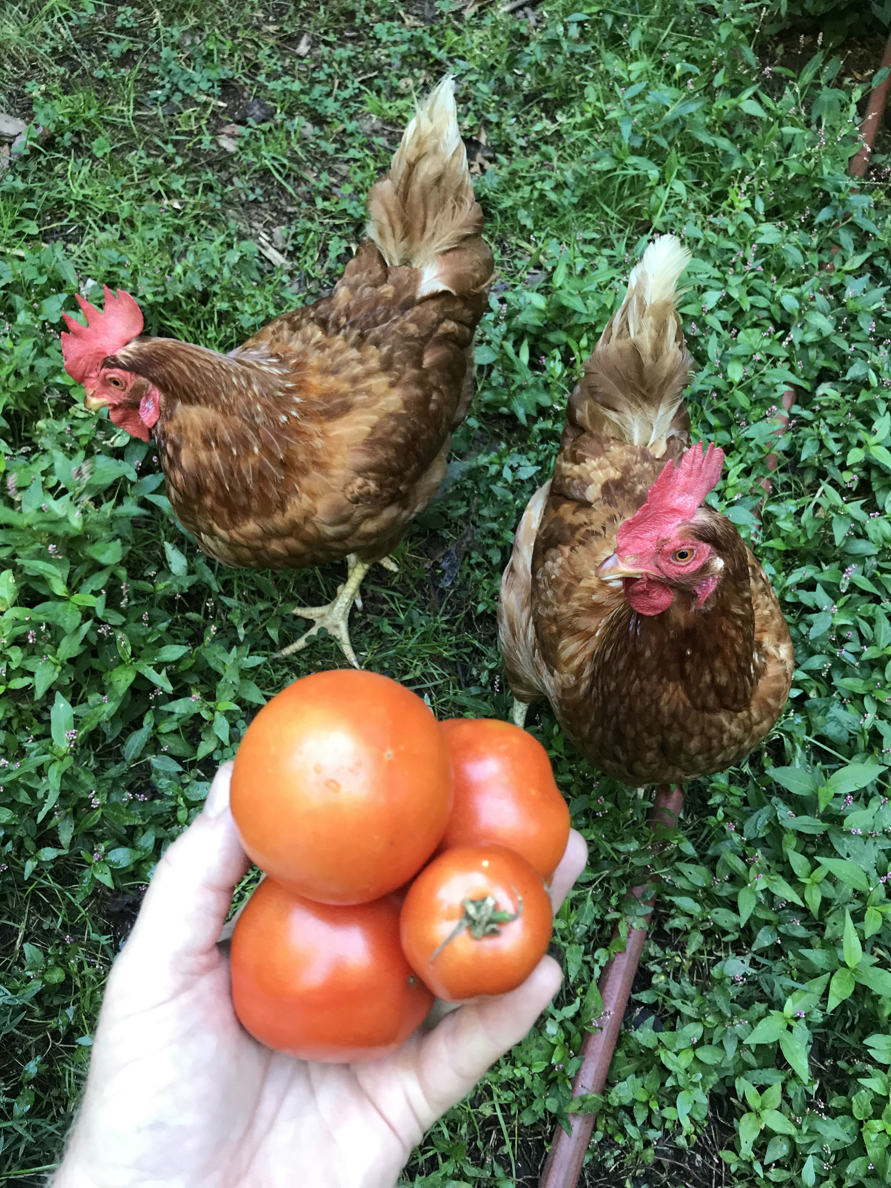 Doug's Ultimate Guide To Growing Your Own Tomatoes