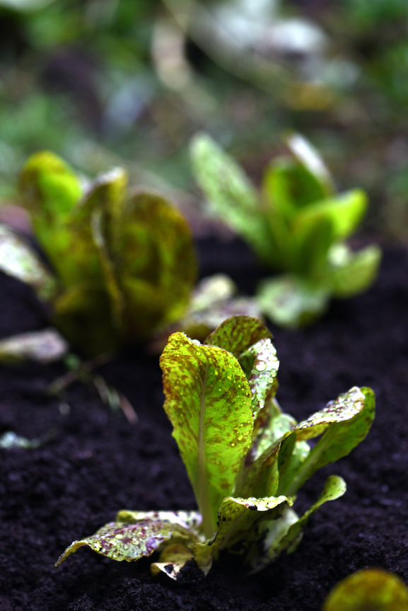 """Cooler Temperatures Signal Start of """"Third Season"""" Plantings and Free Swiss Chard Seeds"""