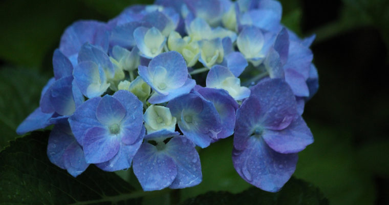Why Doesn't My Hydrangea Bloom?